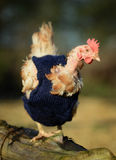 Ex battery chickens with knitted tops stock photography