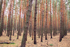 Exactly planted pine forest in the artificial Stock Photography