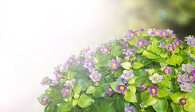 Exacum flower background Stock Photo