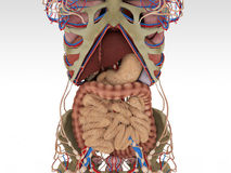 Exakt kvinnlig anatomi Fotografering för Bildbyråer