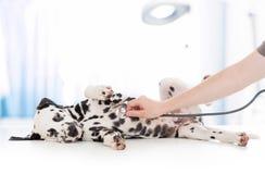 Exame do cão pelo doutor veterinário com imagens de stock royalty free