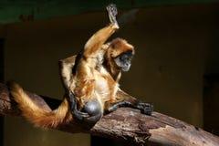 Exame médico completo para um macaco Imagem de Stock Royalty Free
