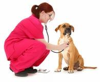 Examen d'animal familier Image libre de droits