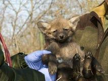 Examen de bébé de loup Maned Photographie stock