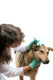 Examen del perro Imagenes de archivo