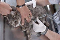 Examinación veterinaria   Imagen de archivo
