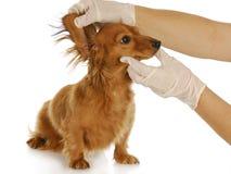 Examinación veterinaria Foto de archivo libre de regalías