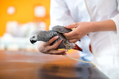 Examination of African gray parrot in vet infirmary. Examination of sick African gray parrot in vet clinic Stock Photo