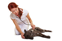 Examination of dog at veterinarian Royalty Free Stock Images