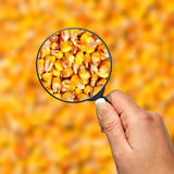 Examination food corn quality Royalty Free Stock Photography