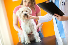 Examination of sick Maltese dog in vet clinic. Veterinarian examining sick Maltese dog in vet clinic Stock Image
