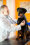 Examination with stethoscope of Great Done dog in vet ambulant Royalty Free Stock Photo