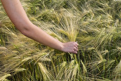 Examines crop. Female hand crop study afield Royalty Free Stock Photos