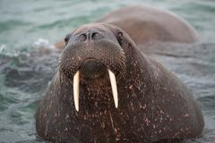 Examinez mon eys- Haevyweight, grand morse avec ses défenses sur la côte du Svalbard photo stock