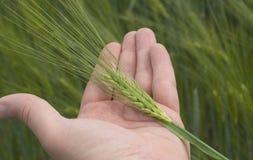 Examing o trigo verde Imagens de Stock