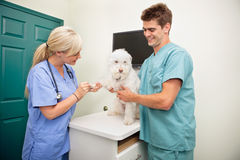 Examining dog's paw. Female veterinarian with assistant examining dog's paw royalty free stock image