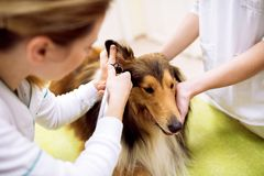 Examining ear with otoscope at pet ambulance. Veterinarian examining ear with otoscope at pet ambulance Royalty Free Stock Images