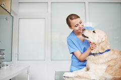 Examining fluffy patient. Young female veterinarian in blue uniform hugging and talking to white fluffy labrador lying on table during check-up Stock Photography