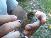 Examining a little bird Stock Photos