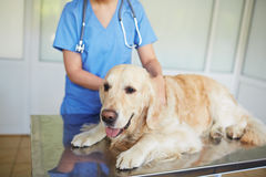 Examining in vet clinic Stock Image
