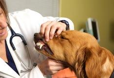 Examining veterinario los dientes de un perro perdiguero de oro imagenes de archivo