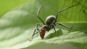 Example of mimicry - young grasshopper like ant Royalty Free Stock Images