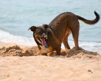 Excavación del perro Fotos de archivo