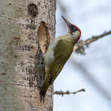 Excavater. European green woodpecker (Picus viridis) excavate a nest hole in an aspen tree in Uppland, Sweden Royalty Free Stock Photo