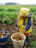 Excavatrice de pommes de terre photos libres de droits