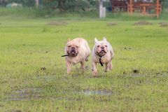 Excecise do buldogue francês no campo Fotos de Stock Royalty Free