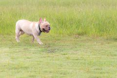 Excecise do buldogue francês no campo Fotos de Stock
