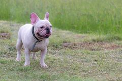 Excecise do buldogue francês no campo Imagem de Stock Royalty Free