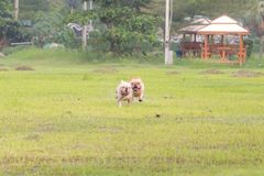 Excecise do buldogue francês no campo Foto de Stock