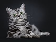 Excellent black silver tabby blotched green eyed British Shorthair kitten, Isolated on black background. Excellent black silver tabby blotched green eyed stock photos