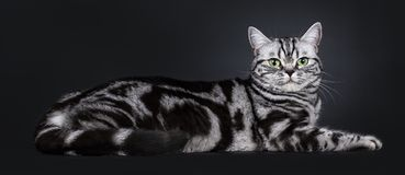 Excellent black silver tabby blotched green eyed British Shorthair kitten, Isolated on black background. Excellent black silver tabby blotched green eyed royalty free stock photography