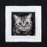 Excellent black silver tabby blotched green eyed British Shorthair kitten, Isolated on black background. Excellent black silver tabby blotched green eyed stock images