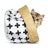 Excellent chat d'or des Anglais Shorthair photographie stock libre de droits