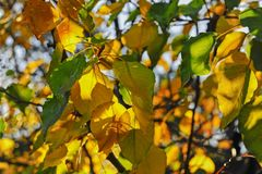 Excellent composition of Autumn leaves, with a Translucent Effect from Natural Sunlight. stock image