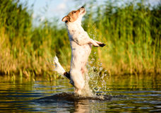 Excellent jump from water. Jack Russell Terrier having fun at river bank Royalty Free Stock Image