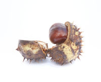 Excellent macro conker horse chestnut Royalty Free Stock Image