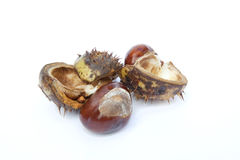 Excellent macro conker horse chestnut Stock Photography