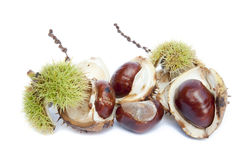 Excellent macro conker horse chestnut Royalty Free Stock Photography