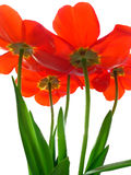 Excellent tulip. Red natural beautiful excellent tulip Royalty Free Stock Image