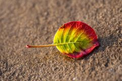 Excellent vivid color leaf lying on the sand Royalty Free Stock Image