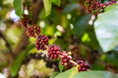 Excelsa coffee beans on tree. Ripe coffee bean.  Royalty Free Stock Photo
