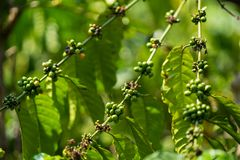 Excelsa coffee beans on tree. Ripe coffee bean.  Stock Image