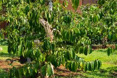Excelsa coffee tree in garden. Drink agriculture.  Royalty Free Stock Images