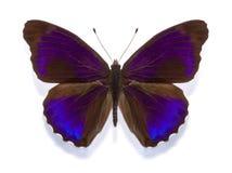 Excelsa tropical de los alpais de Eunica de la mariposa Foto de archivo