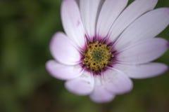 Excentrisch Hardy Osteospermum Royalty-vrije Stock Fotografie