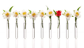 Exception. Glass test tubes with white flowers except one that is red standing in line,  on white. Concept of individuality, creativity, one-of-a-kind Royalty Free Stock Photography